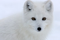 Lady in White (Polar Fox)